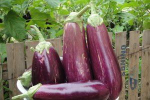 茄子的功效真想不到!可防治高血压、冠心病、动脉硬化