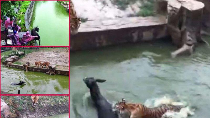 江蘇動物園餵老虎活驢 網友:太殘忍