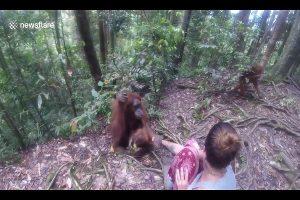 紅毛猩猩緊握女遊客手不放,香蕉引誘無效,嚇得頻求救