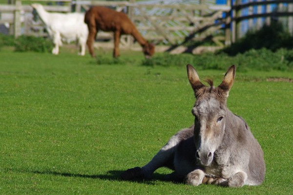 美媒:中国市场让南非驴子濒临灭绝