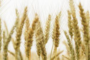 """民间环保组织:河南新乡12个小麦样品全是""""镉麦"""""""