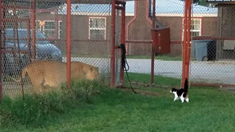 美德州小猫挑战狮子王 主人吓得惊叫 小猫毫不退缩(视频)