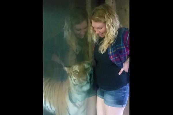 孕婦逛動物園自拍 老虎臉緊貼玻璃磨蹭撒嬌
