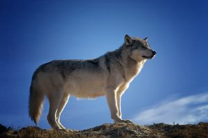 川男牵宠物狗逛街  路人惊呼:是一只狼