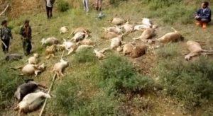 天降巨雷 山西50隻羊山坡吃草被劈死