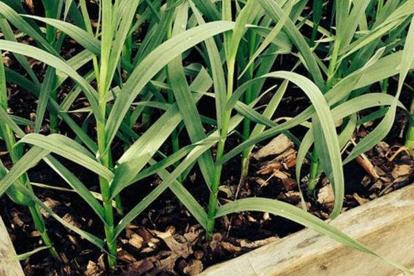 把大蒜種成水仙花模樣超簡單!你也可以!