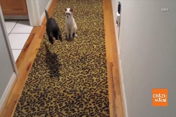 這個聲響令黑貓坐立不安,一旁白貓忍不住出貓爪