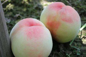 吃水蜜桃到底要不要去皮?简单步骤教你轻松去皮
