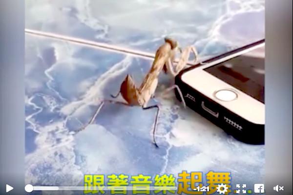 螳螂聽到音樂,竟會跳舞,節奏感超強!