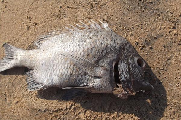 千万要小心!这种鱼有毒不可以吃!