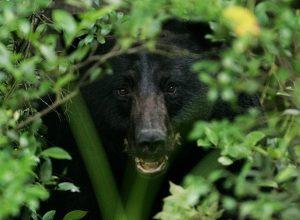 惊!科罗拉多黑熊凌晨入车觅食 然后把车开走