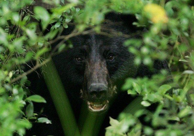 驚!科羅拉多黑熊凌晨入車覓食 然後把車開走