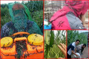 东北雨后虫灾吃光农作物  专家:不寻常