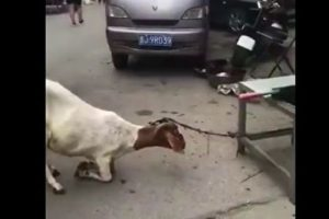 怀孕母羊向屠夫下跪 视频引发热议(视频)