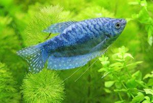 每周至少吃一次鱼 心脏病风险可降低15% 教你正确煎鱼的方法