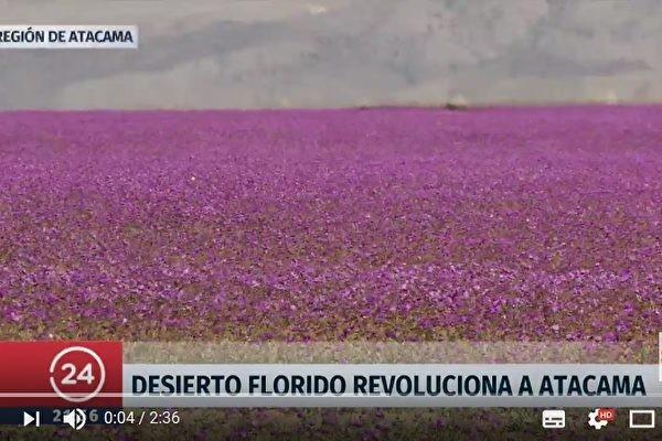 世界最乾燥的沙漠 不但下雨還出現花海(視頻)