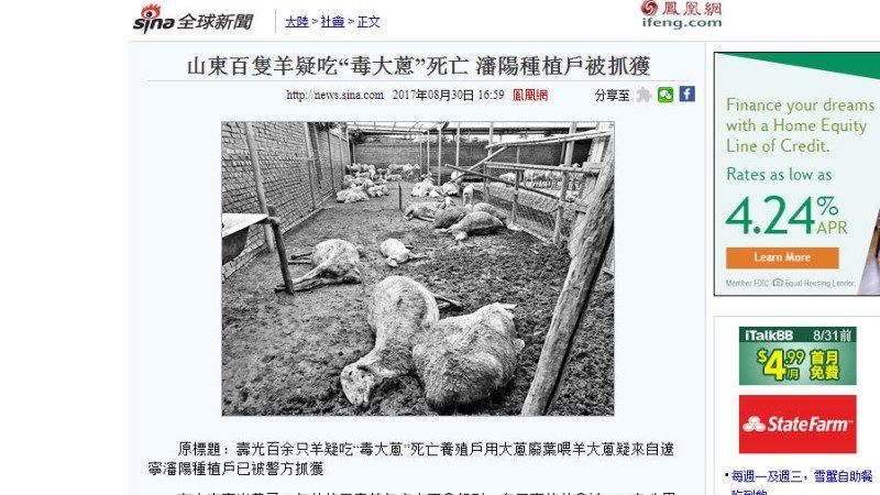 山东逾百羊中毒亡  50万公斤毒大葱待追查