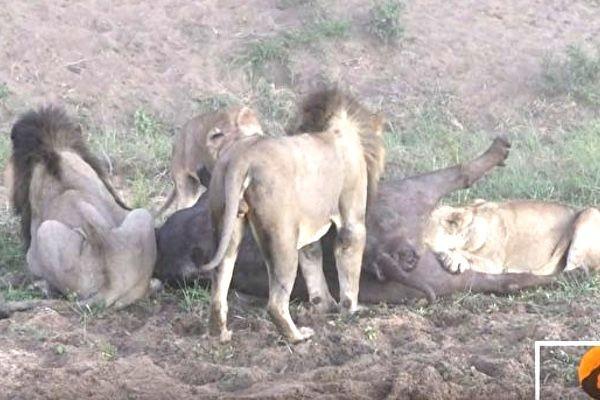 南非狮群围攻落单水牛 结局你想不到(视频)