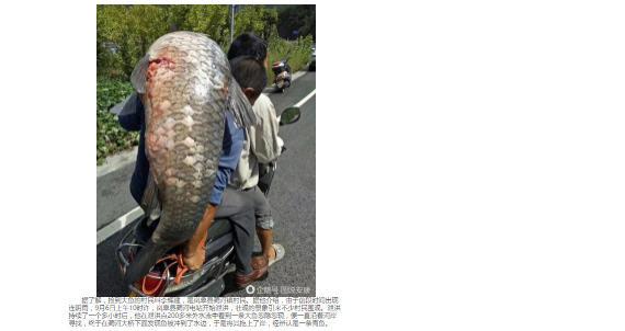 陕西水库泄洪 村民捡到25公斤大鱼 网友热议