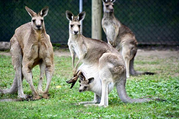 袋鼠泛濫成災  澳洲邀中國吃貨幫忙