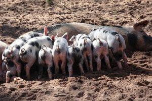 野豬從主人家出走 兩年後帶回一群豬崽(視頻)