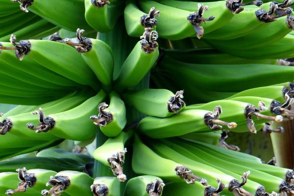 香蕉片营养增4倍 稳定血糖、便秘这样吃有效
