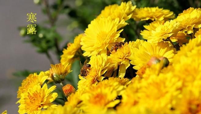 寒露節氣至  秋深菊花垂