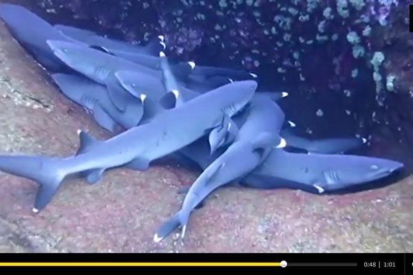 你见过鲨鱼群依偎在一起睡觉吗?(视频)