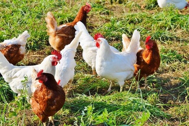 農夫總折斷雞鴨腿 晚年遭可怕報應