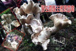 雲南驚現野生蘑菇王 3天瘋漲83.5厘米