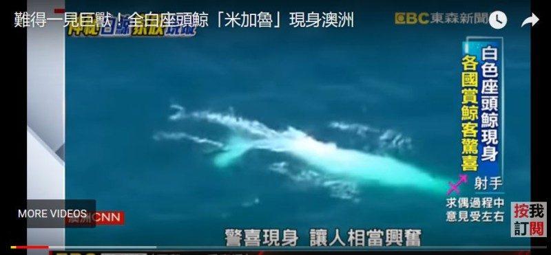 「米伽羅」回來了! 罕見白化座頭鯨現身澳洲外海