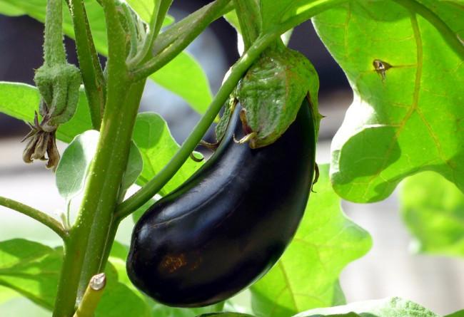 茄子有细刺扎人的才新鲜 教你不变色煮法