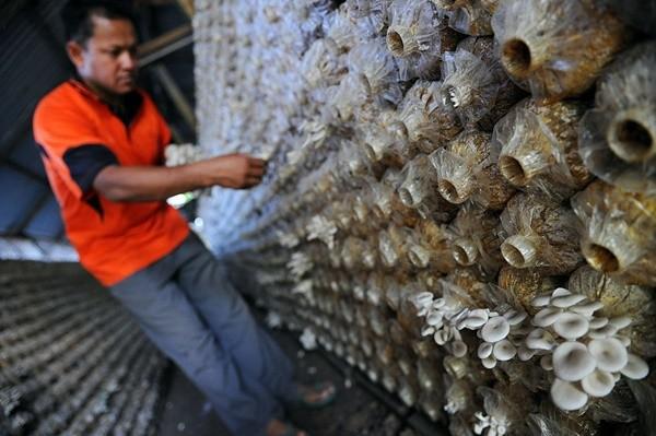 能采蘑菇就能移民? 加拿大种植业急缺工人