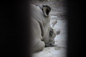 全球僅存北非白犀牛 孤單伏地照網上熱傳