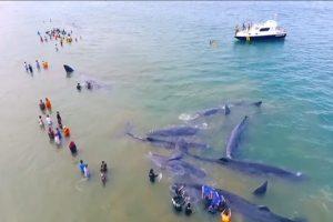 12條抹香鯨集體擱淺 印尼出動上百人營救