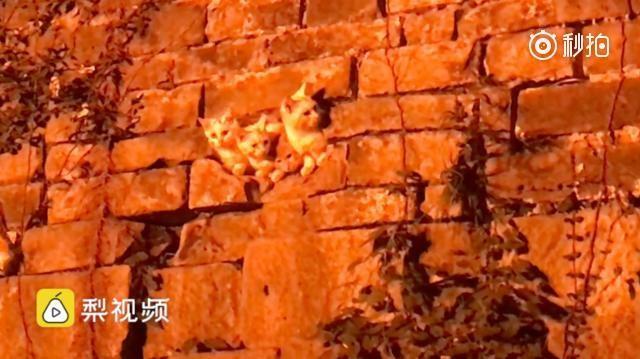四隻小貓穴居在古城牆上 探頭探腦模樣超萌(視頻)