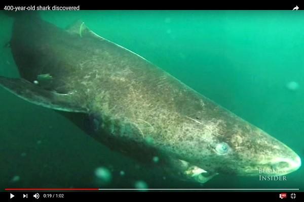 北大西洋發現「超高齡」母鯊 初估可能有512歲
