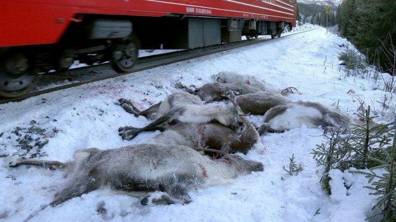 拉「雪橇」馴鹿 遭挪威法院下令撲殺