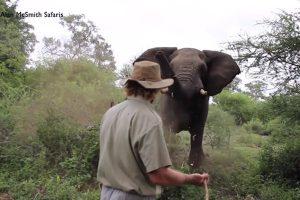 突遇大象攻击 南非导览员用这招全身而退