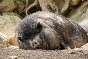 因果报应:杀人太多 轮回为猪受宰杀