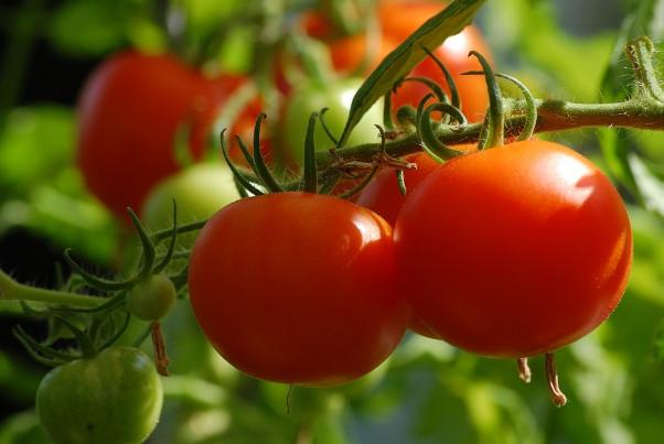 番茄这样种 再也吃不完(视频)