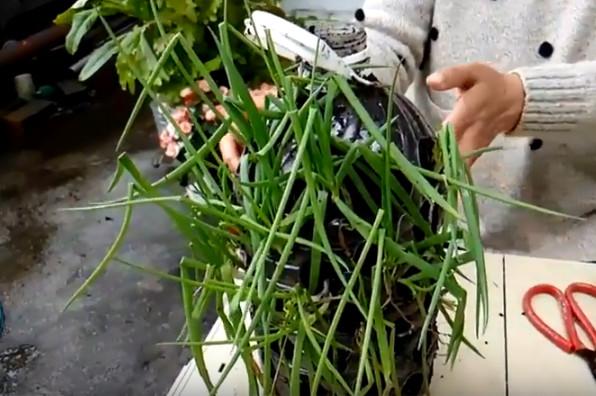 寶特瓶種蔥生長情況 台灣大媽好會種(視頻)