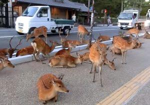 日本奈良鹿攻擊遊客事件創歷史新高  83%是中國遊客