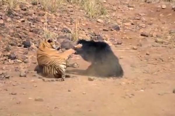 驚險!小熊險遭老虎獵食 母熊無懼迎戰(視頻)