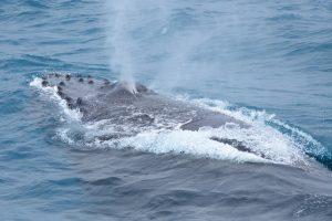 惊喜!花莲外海发现一对母子座头鲸
