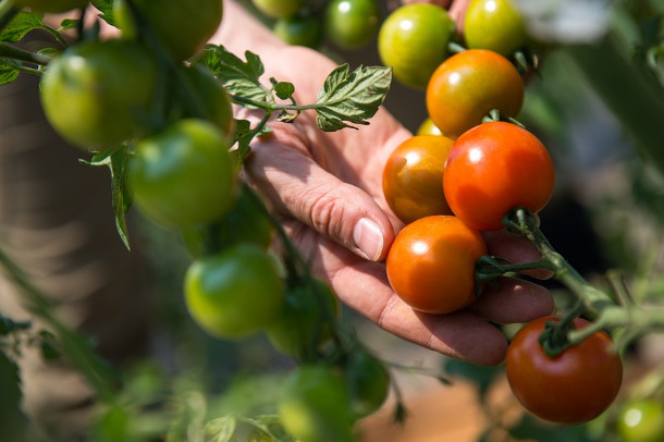 番茄倒著種再也吃不完 台灣大媽超會種(視頻)