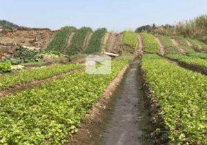 廣東地表隆起3米高 菜農嚇得吃不下飯