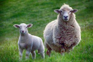 瘦羊博士的故事