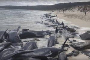 西澳150头鲸鱼搁浅 入夜援救困难仅6头存活