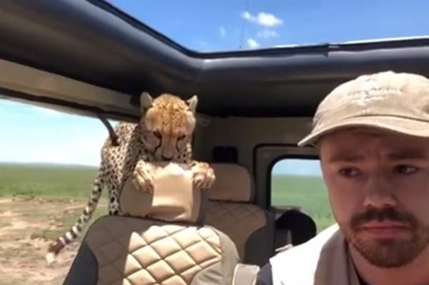 最恐怖經歷!獵豹跳上後座 乘客屏住呼吸不敢直視